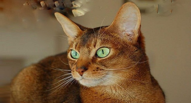 7 breeds of cats that will fascinate2