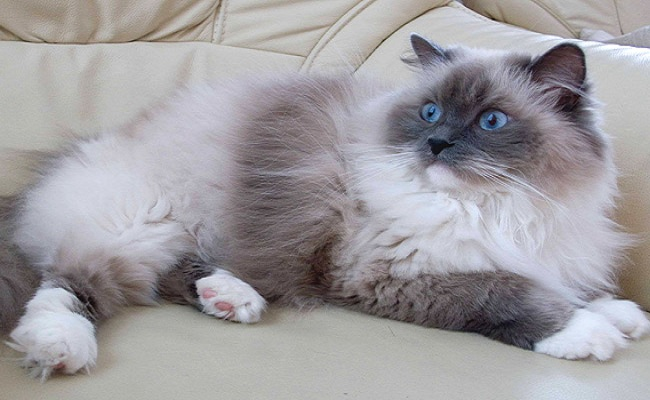 7 breeds of cats that will fascinate4