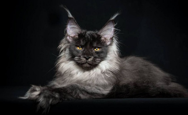 7 breeds of cats that will fascinate5
