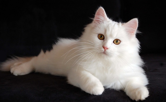 7 breeds of cats that will fascinate6
