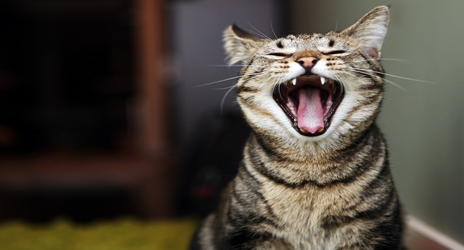 How to care for the cat's teeth2