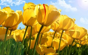 Who and When Give Yellow Tulips?