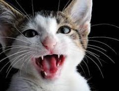 How many teeth does a cat have